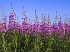 Иван-чай – это цветок, помогающий устранить отеки и избавить от болевых ощущений