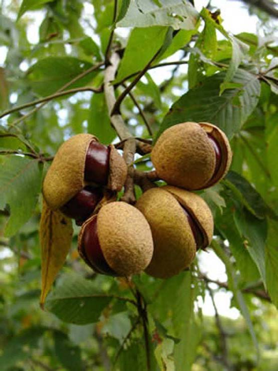 плоды каштана и простатита