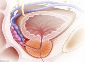 Что такое простата или предстательная железа у мужчин