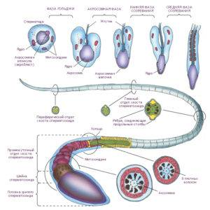 Стадии сперматогенеза - Познайка