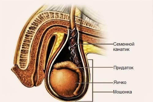 Семянной канатик и спермограмма